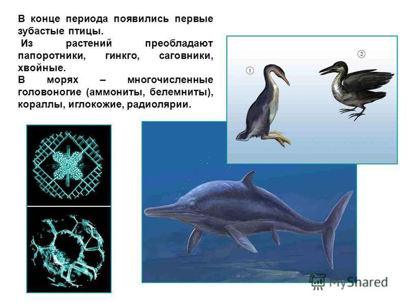 В конце периода появились первые зубастые птицы. Из растений преобладают папоротники, гинкго, саговники, хвойные. В морях – многочисленные головоногие (аммониты, белемниты), кораллы, иглокожие, радиолярии.