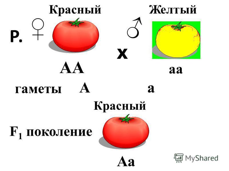 АА аа Р. Х Красный Желтый Р. F 1 поколение гаметы Красный Аа Аа