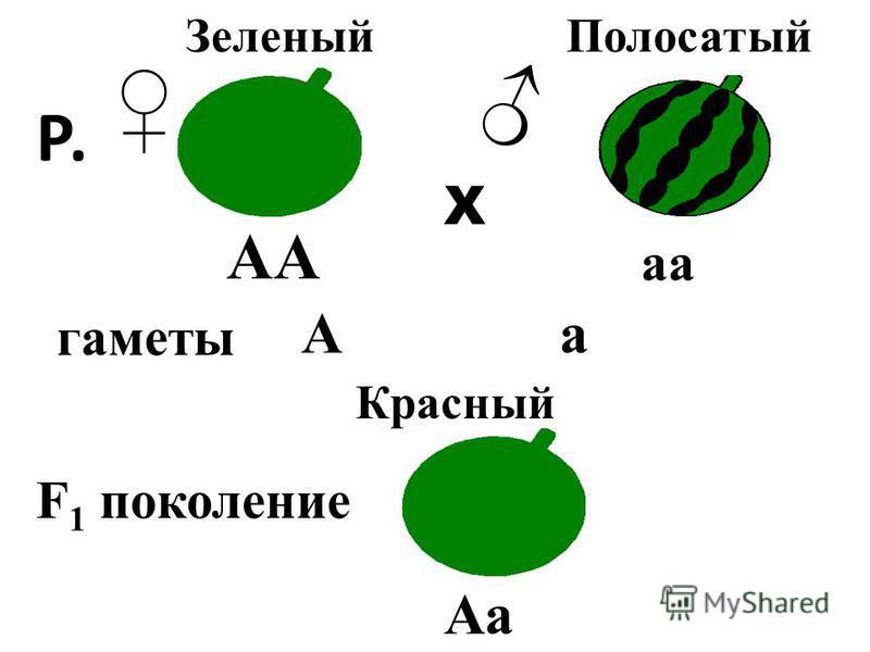 АА аа Р. Х Зеленый Полосатый Р. F 1 поколение гаметы Красный Аа Аа