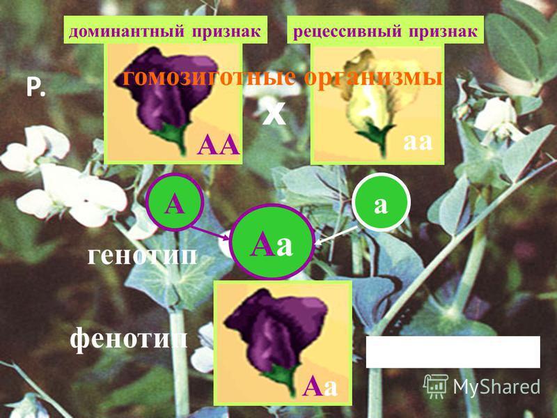 АА аа Аа Аа Аа Аа Аа генотип фенотип Единообразие F 1 доминантный признак рецессивный признак гомозиготные организмы Р. Х