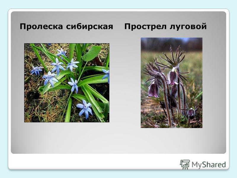 Пролеска сибирскаяПрострел луговой
