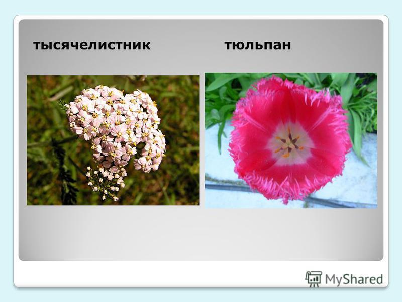 тысячелистник тюльпан