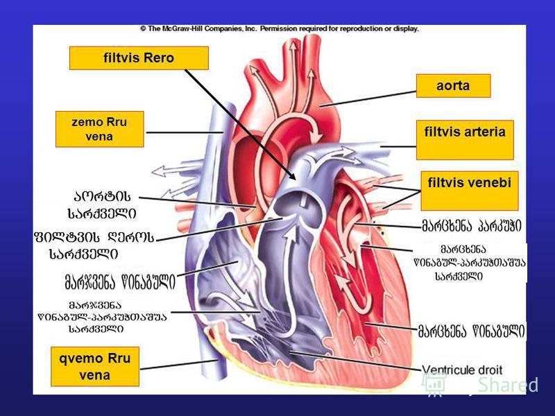 zemo Rru vena qvemo Rru vena aorta filtvis venebi filtvis arteria filtvis Rero