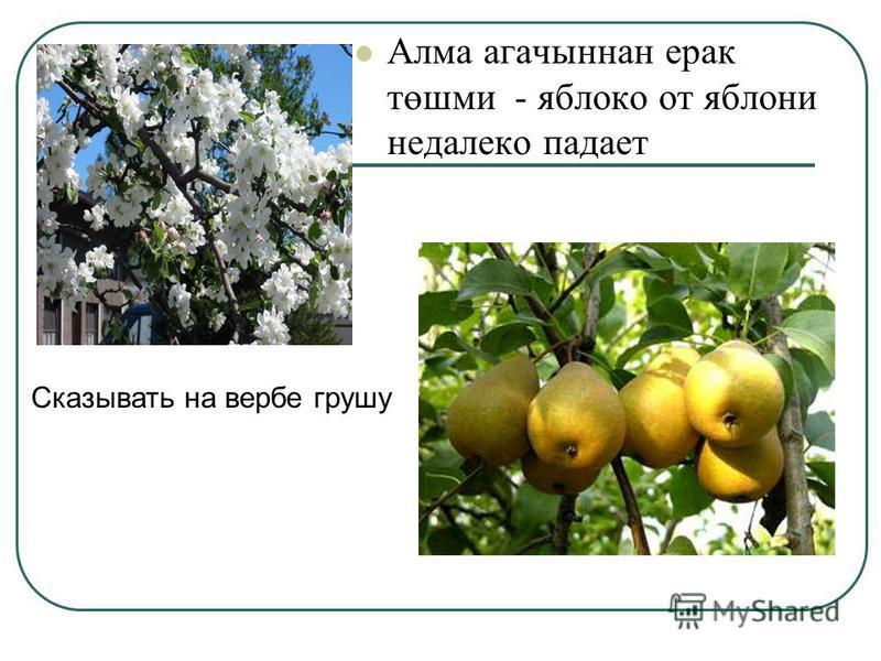 Алма агавыннан ирак төшми - яблоко от яблони недалеко падает Сказывать на вербе грушу