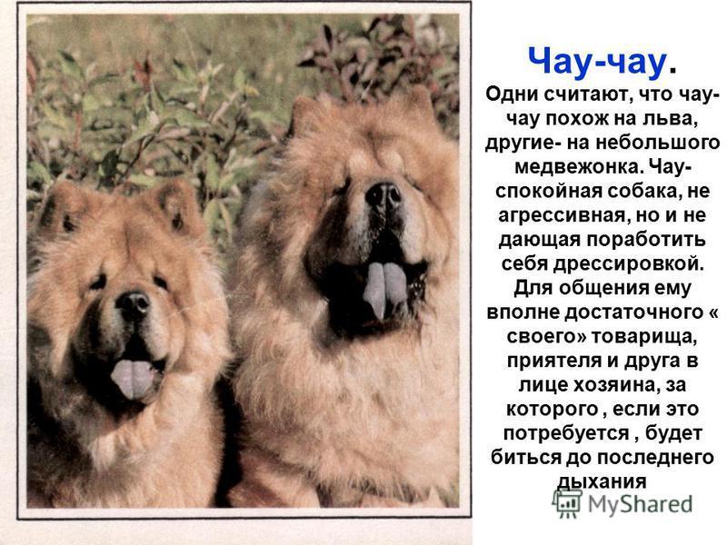 Чау-чау. Одни считают, что чау- чау похож на льва, другие- на небольшого медвежонка. Чау- спокойная собака, не агрессивная, но и не дающая поработить себя дрессировкой. Для общения ему вполне достаточного « своего» товарища, приятеля и друга в лице х