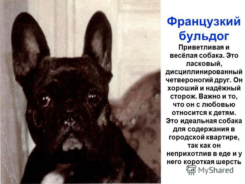 Французкий бульдог Приветливая и весёлая собака. Это ласковый, дисциплинированный четвероногий друг. Он хороший и надёжный сторож. Важно и то, что он с любовью относится к детям. Это идеальная собака для содержания в городской квартире, так как он не