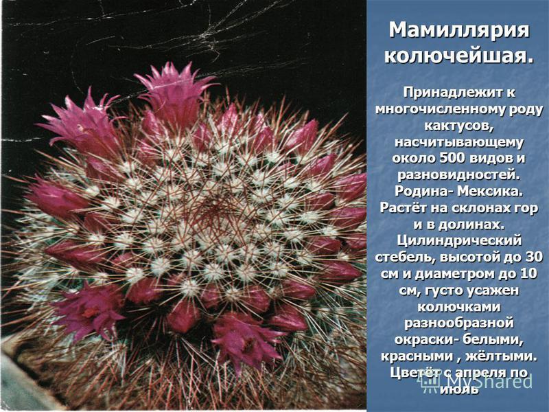 Мамиллярия колючейшая. Принадлежит к многочисленному роду кактусов, насчитывающему около 500 видов и разновидностей. Родина- Мексика. Растёт на склонах гор и в долинах. Цилиндрический стебель, высотой до 30 см и диаметром до 10 см, густо усажен колюч