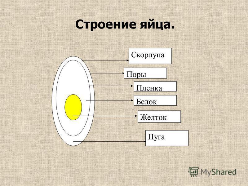 Скорлупа Поры Пленка Белок Желток Пуга Строение яйца.