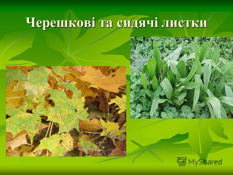 Черешкові та сидячі листки