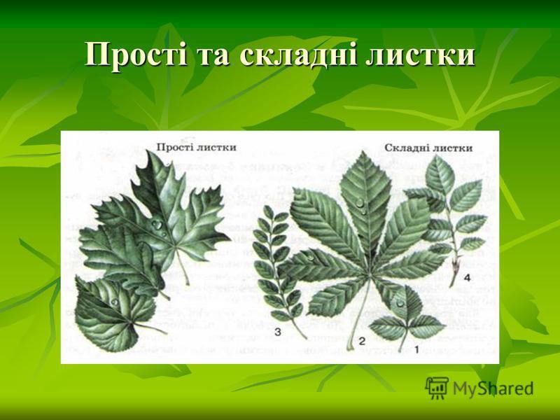 Прості та складні листки