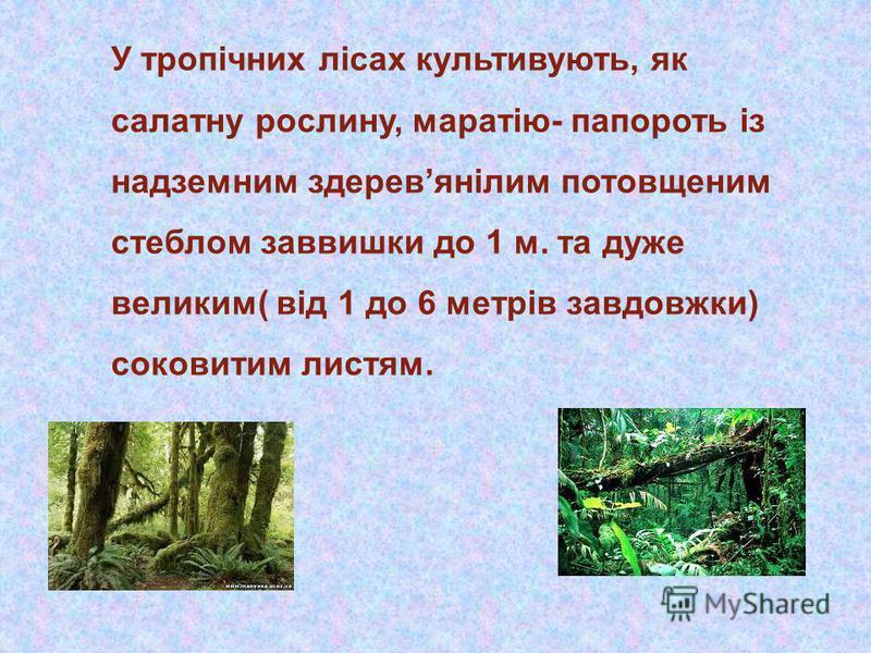 У тропічних лісах культивують, як салатну рослину, маратію- папороть із надземним здеревянілим потовщеним стеблом заввишки до 1 м. та дуже великим( від 1 до 6 метрів завдовжки) соковитим листям.