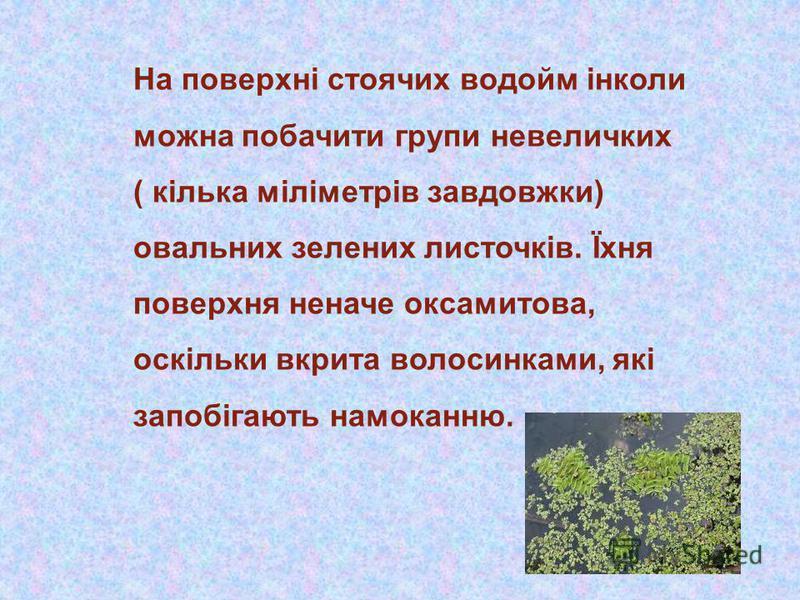 На поверхні стоячих водойм інколи можна побачити групи невеличких ( кілька міліметрів завдовжки) овальних зелених листочків. Їхня поверхня неначе оксамитова, оскільки вкрита волосинками, які запобігають намоканню.