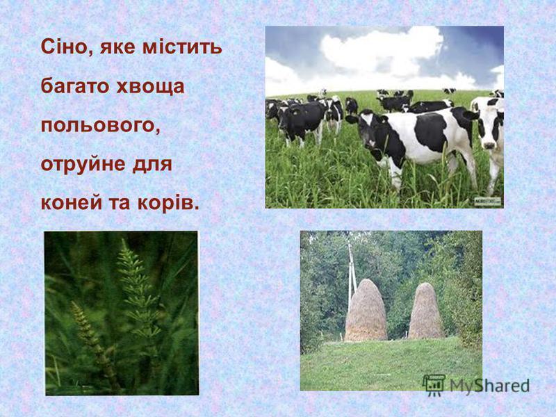 Сіно, яке містить багато хвоща польового, отруйне для коней та корів.