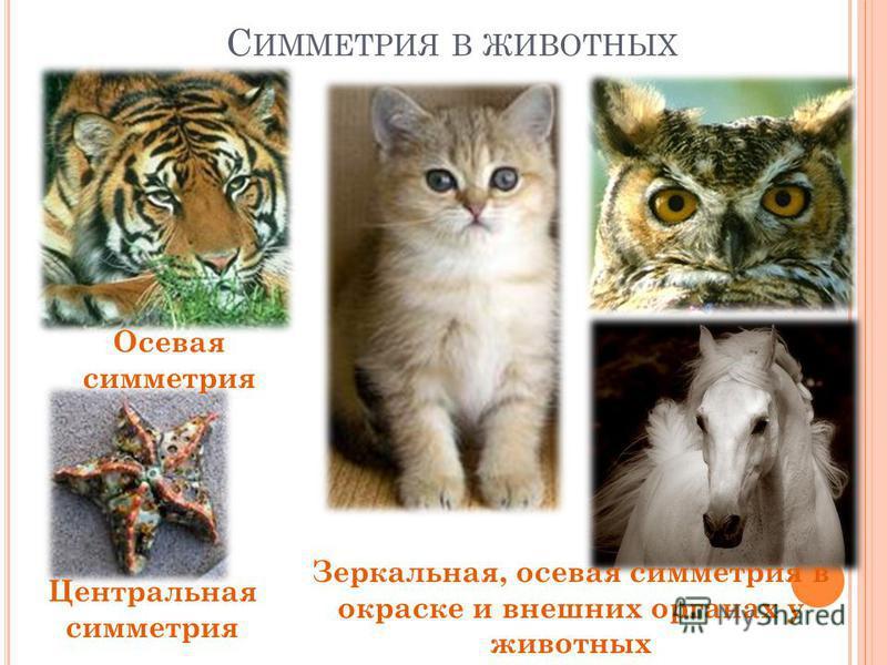 С ИММЕТРИЯ В ЖИВОТНЫХ Осевая симметрия Зеркальная, осевая симметрия в окраске и внешних органах у животных