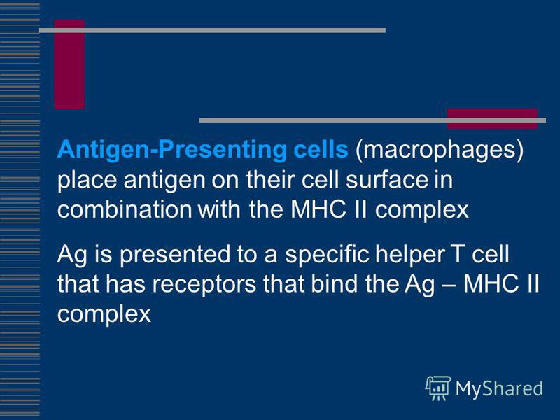 Antigen-Presenting cells (macrophages) place antigen on their cell surface in combination with the MHC II complex Ag is presented to a specific helper T cell that has receptors that bind the Ag – MHC II complex