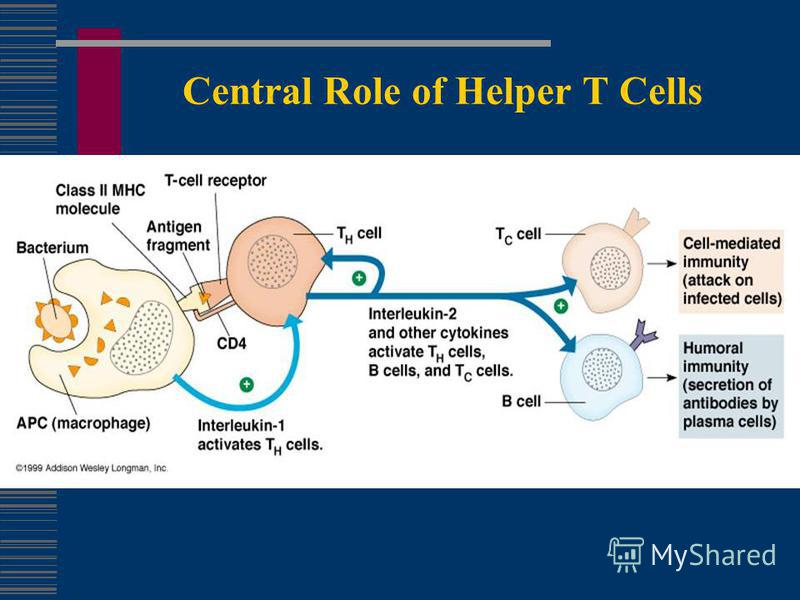 Central Role of Helper T Cells