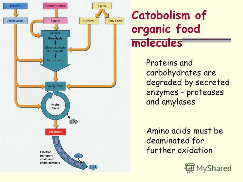 Catobolism of organic food molecules Proteins and carbohydrates are degraded by secreted enzymes – proteases and amylases Amino acids must be deaminated for further oxidation