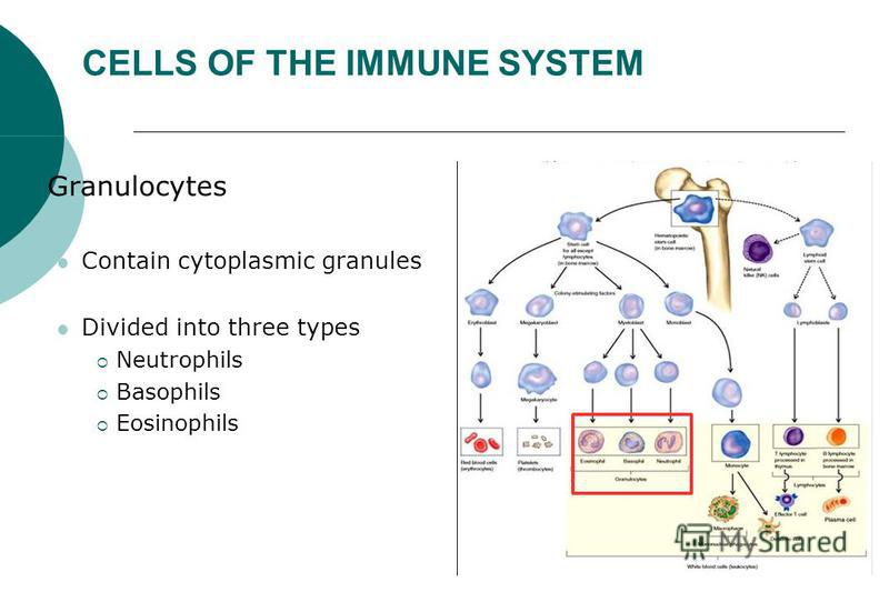 CELLS OF THE IMMUNE SYSTEM Granulocytes Contain cytoplasmic granules Divided into three types Neutrophils Basophils Eosinophils