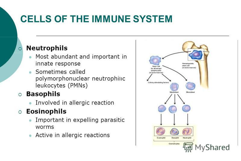 CELLS OF THE IMMUNE SYSTEM Neutrophils Most abundant and important in innate response Sometimes called polymorphonuclear neutrophilic leukocytes (PMNs) Basophils Involved in allergic reaction Eosinophils Important in expelling parasitic worms Active