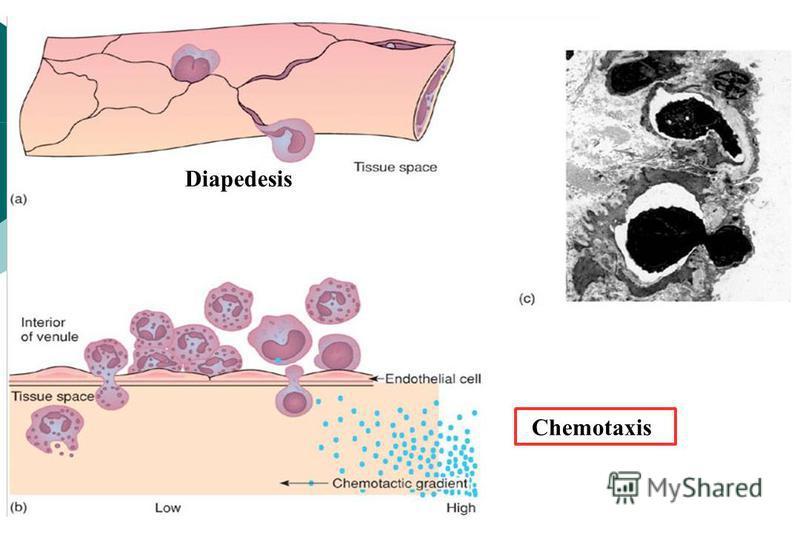 Chemotaxis Diapedesis