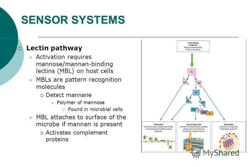 SENSOR SYSTEMS Lectin pathway Activation requires mannose/mannan-binding lectins (MBL) on host cells MBLs are pattern recognition molecules Detect mannane Polymer of mannose Found in microbial cells MBL attaches to surface of the microbe if mannan is