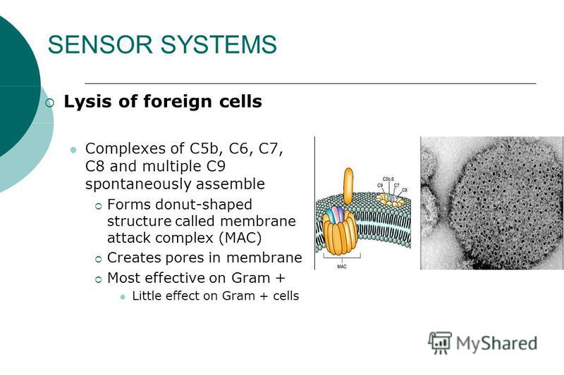 SENSOR SYSTEMS Lysis of foreign cells Complexes of C5b, C6, C7, C8 and multiple C9 spontaneously assemble Forms donut-shaped structure called membrane attack complex (MAC) Creates pores in membrane Most effective on Gram + Little effect on Gram + cel