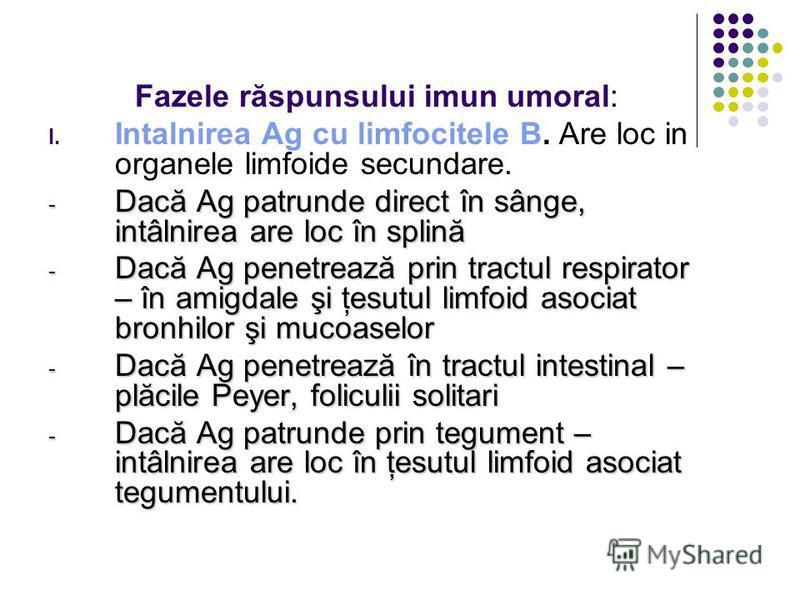 Fazele răspunsului imun umoral: I. Intalnirea Ag cu limfocitele B. Are loc in organele limfoide secundare. - Dacă Ag patrunde direct în sânge, intâlnirea are loc în splină - Dacă Ag penetrează prin tractul respirator – în amigdale şi ţesutul limfoid