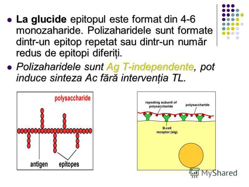 La glucide epitopul este format din 4-6 monozaharide. Polizaharidele sunt formate dintr-un epitop repetat sau dintr-un număr redus de epitopi diferiţi. La glucide epitopul este format din 4-6 monozaharide. Polizaharidele sunt formate dintr-un epitop