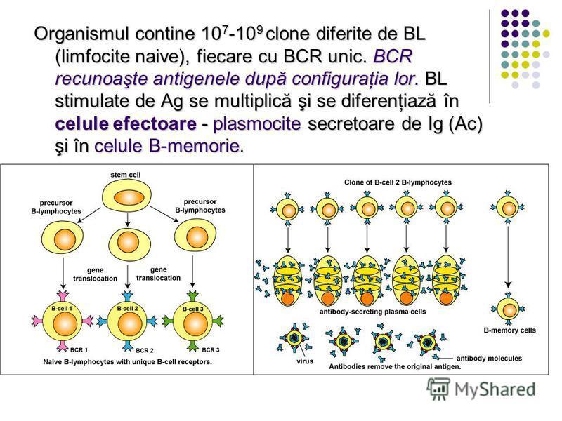 Organismul contine 10 7 -10 9 clone diferite de BL (limfocite naive), fiecare cu BCR unic. BCR recunoaşte antigenele după configuraţia lor. BL stimulate de Ag se multiplică şi se diferenţiază în celule efectoare - plasmocite secretoare de Ig (Ac) şi
