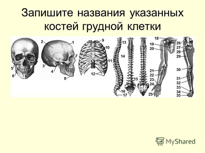 Запишите названия указанных костей грудной клетки