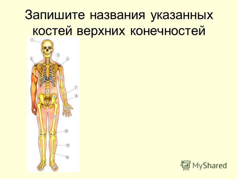 Запишите названия указанных костей верхних конечностей