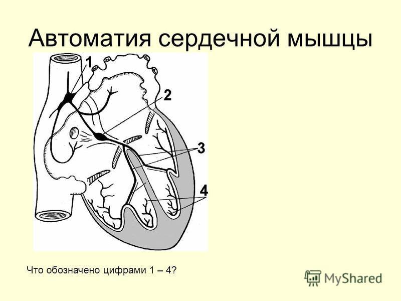 Автоматия сердечной мышцы Что обозначено цифрами 1 – 4?