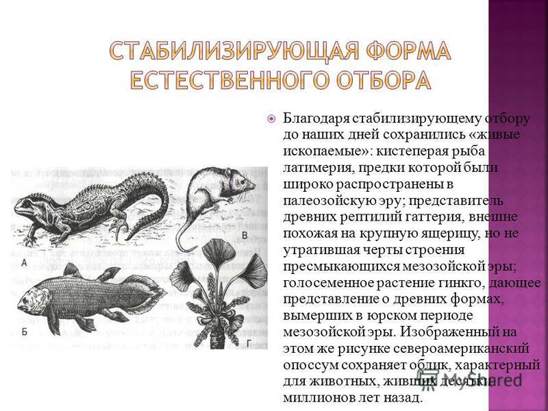 Благодаря стабилизирующему отбору до наших дней сохранились «живые ископаемые»: кистеперая рыба латимерия, предки которой были широко распространены в палеозойскую эру; представитель древних рептилий гаттерия, внешне похожая на крупную ящерицу, но не