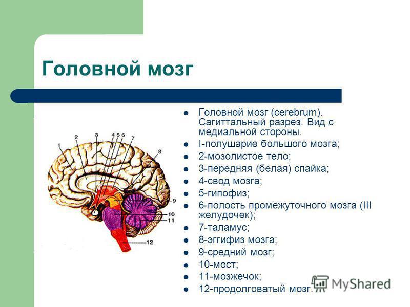 Головной мозг (cerebrum). Сагиттальный разрез. Вид с медиальной стороны. I-полушарие большого мозга; 2-мозолистое тело; 3-передняя (белая) спайка; 4-свод мозга; 5-гипофиз; 6-полость промежуточного мозга (III желудочек); 7-таламус; 8-эггифиз мозга; 9-