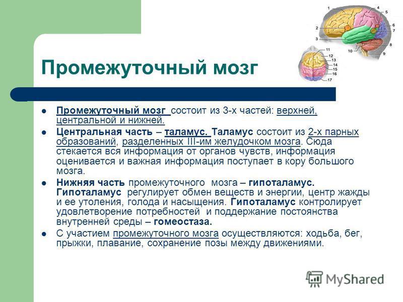 Промежуточный мозг Промежуточный мозг состоит из 3-х частей: верхней, центральной и нижней. Центральная часть – таламус. Таламус состоит из 2-х парных образований, разделенных III-им желудочком мозга. Сюда стекается вся информация от органов чувств,