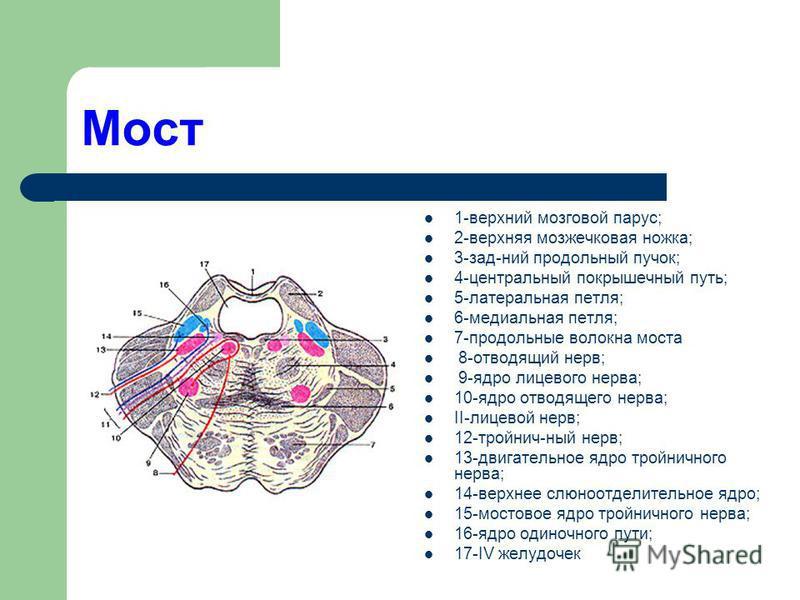 Мост 1-верхний мозговой парус; 2-верхняя мозжечковая ножка; 3-зад-ний продольный пучок; 4-центральный покрышечный путь; 5-латеральная петля; 6-медиальная петля; 7-продольные волокна моста 8-отводящий нерв; 9-ядро лицевого нерва; 10-ядро отводящего не
