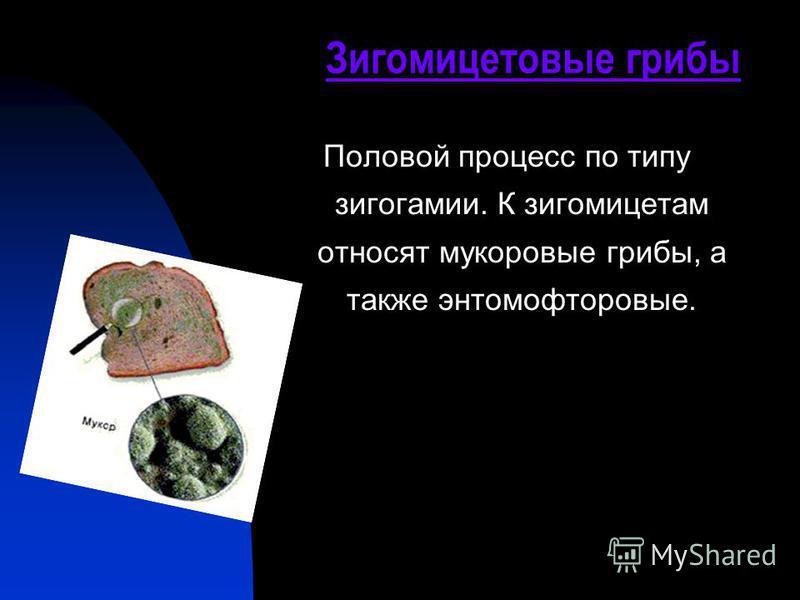 Зигомицетовые грибы Половой процесс по типу зигогамии. К зигомицетам относят мукоровые грибы, а также энтомофторовые.