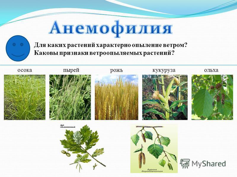 Для каких растений характерно опыление ветром? Каковы признаки ветроопыляемых растений? осокапырейрожькукурузаольха