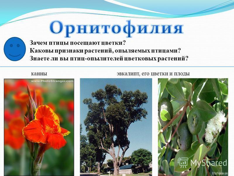 Зачем птицы посещают цветки? Каковы признаки растений, опыляемых птицами? Знаете ли вы птиц-опылителей цветковых растений? канны эвкалипт, его цветки и плоды