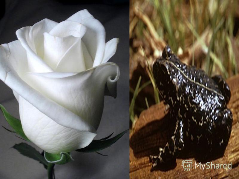 Дар поэта – ласкать и карябать, Роковая на нем печать. Розу белую с черной жабой Я хотел на земле повенчать. «Мне осталась одна забава»