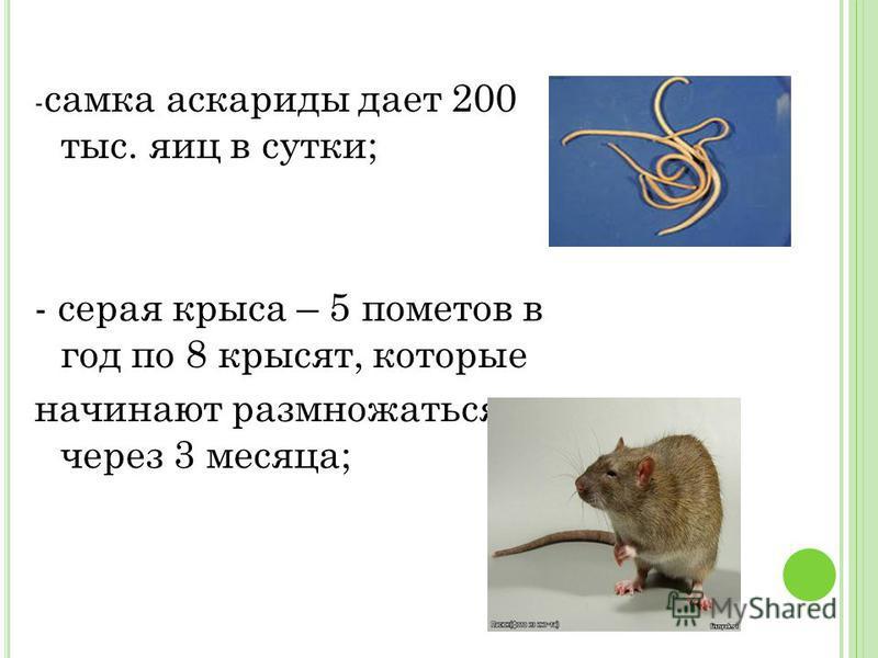 - самка аскариды дает 200 тыс. яиц в сутки; - серая крыса – 5 пометов в год по 8 крысят, которые начинают размножаться через 3 месяца;