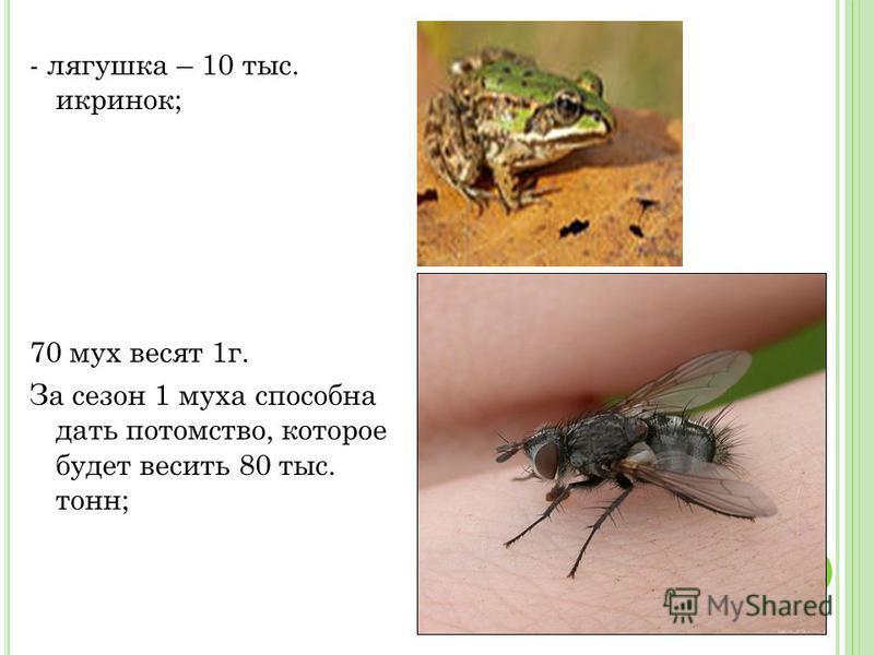 - лягушка – 10 тыс. икринок; 70 мух весят 1 г. За сезон 1 муха способна дать потомство, которое будет весить 80 тыс. тонн;