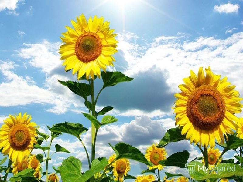 Квіти – символи української землі