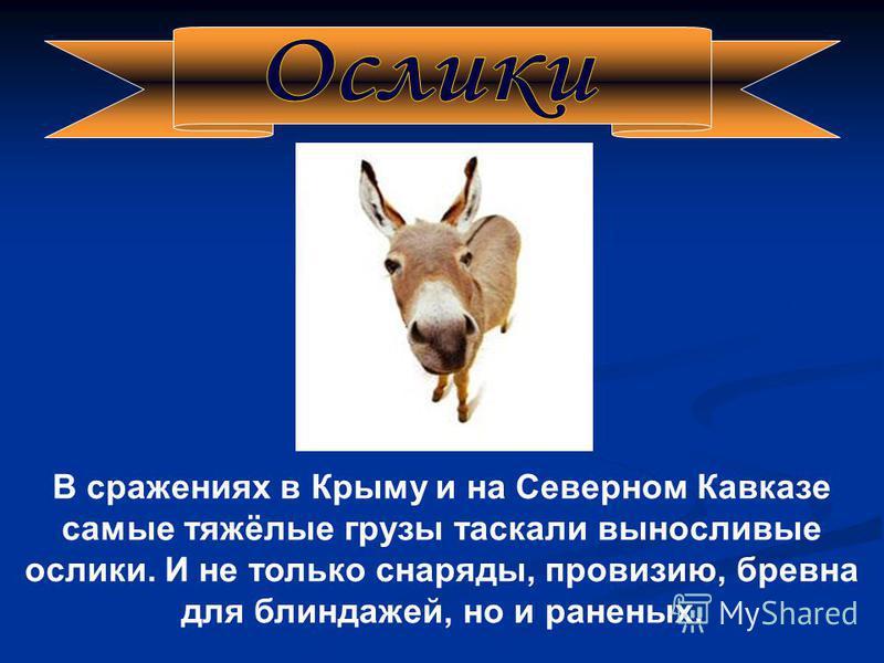 В сражениях в Крыму и на Северном Кавказе самые тяжёлые грузы таскали выносливые ослики. И не только снаряды, провизию, бревна для блиндажей, но и раненых.