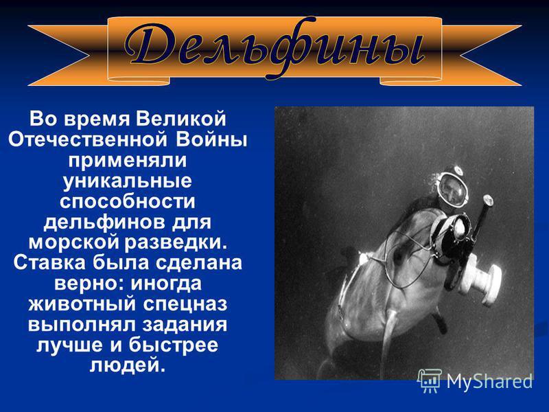 Во время Великой Отечественной Войны применяли уникальные способности дельфинов для морской разведки. Ставка была сделана верно: иногда животный спецназ выполнял задания лучше и быстрее людей.