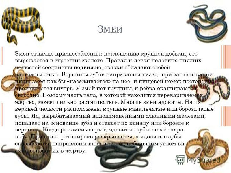 З МЕИ Змеи отлично приспособлены к поглощению крупной добычи, это выражается в строении скелета. Правая и левая половина нижних челюстей соединены подвижно, связки обладают особой растяжимостью. Вершины зубов направлены назад: при заглатывании пищи з