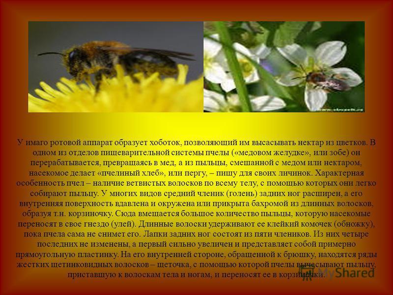 У имаго ротовой аппарат образует хоботок, позволяющий им высасывать нектар из цветков. В одном из отделов пищеварительной системы пчелы («медовом желудке», или зобе) он перерабатывается, превращаясь в мед, а из пыльцы, смешанной с медом или нектаром,