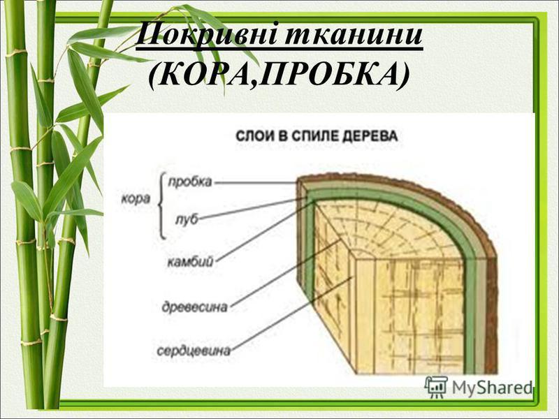 Покривні тканини (КОРА,ПРОБКА)