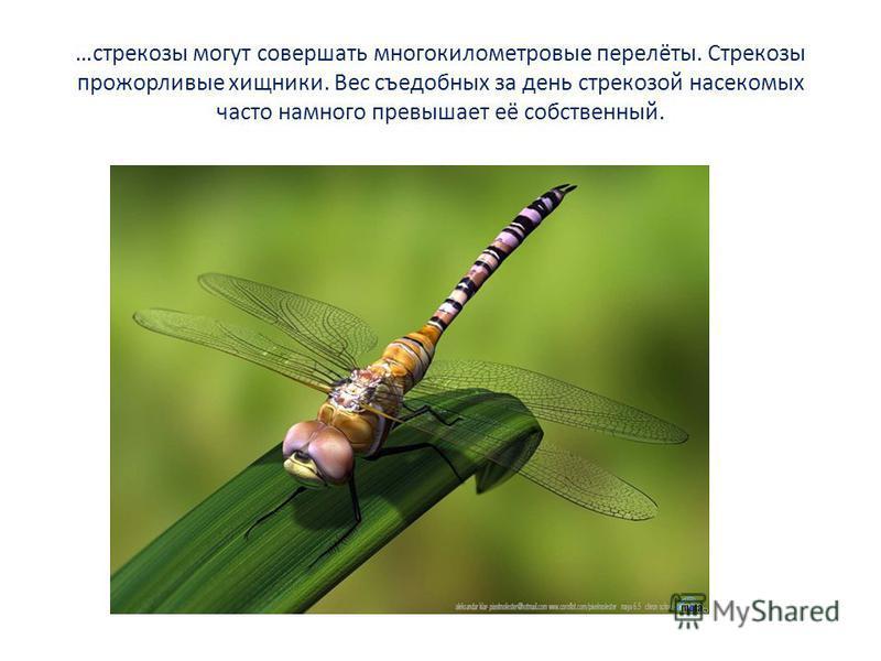 …стрекозы могут совершать многокилометровые перелёты. Стрекозы прожорливые хищники. Вес съедобных за день стрекозой насекомых часто намного превышает её собственный.