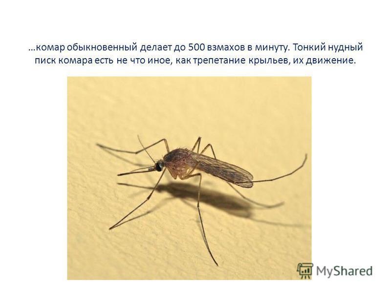 …комар обыкновенный делает до 500 взмахов в минуту. Тонкий нудный писк комара есть не что иное, как трепетание крыльев, их движение.